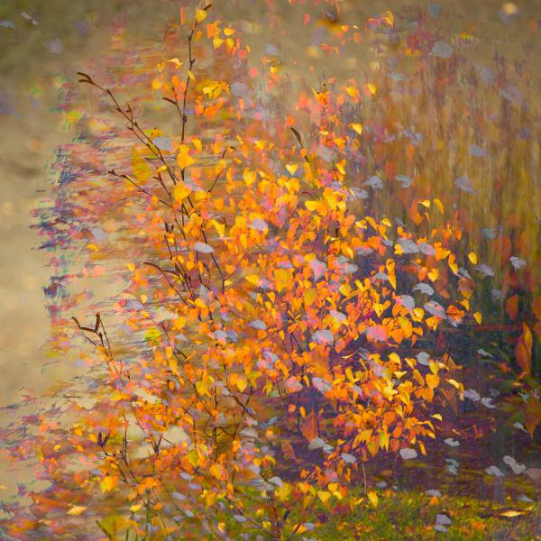 5-autumn-colours-birch-tree-impression